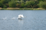 Swan at lake in full flight